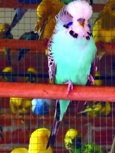 Обложка книги  - Волнистые попугайчики